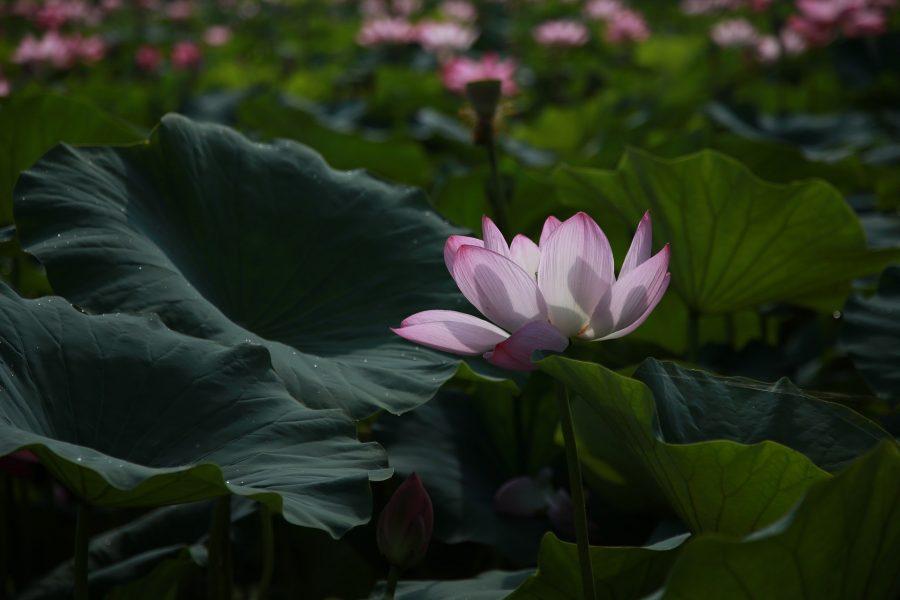 Lotus 4312140 1920