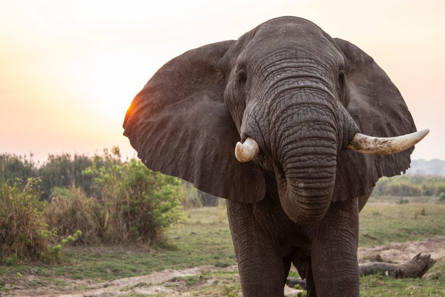 Elephant 1Ajiv6N-Z0C
